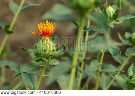 Safflower Flower Plants Or So Many Names Called Dyer's Saffron, American Saffron, Flores Carthami, S