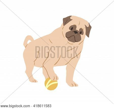 Cute Pug With Wrinkled Face Playing With Ball. Adorable Wrinkly Dog Of Fawn Color. Purebred Light Br