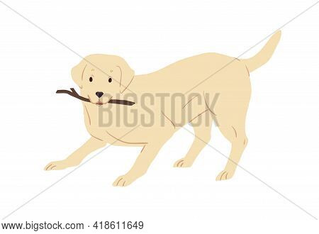 Labrador Retriever Dog Playing And Holding Caught Stick In Mouth. Friendly Playful Doggy With Raised