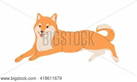 Japanese Dog Of Akita-inu Breed Resting. Adorable Asian Doggy With Orange Hair Lying With Tongue Han
