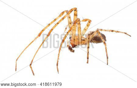 light brown orb-weaver spider isolated on white background