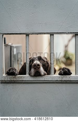 Sad Dog Peeps Out From Behind The Iron Gate