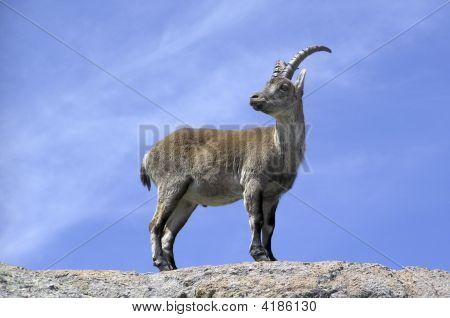 Gredos Ibex (Full View)