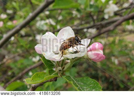 Detailed Macro Shot Of An Honey Bee Resting On Apple Blossom In Spring Season, Honey Bee Standing Ov