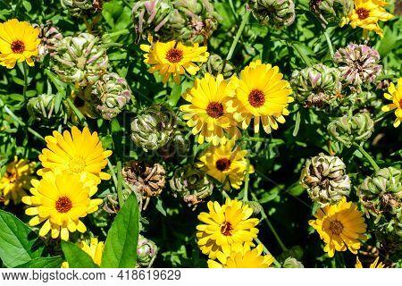 Many Vivid Yellow Orange Flowers Of Calendula Officinalis Plant, Known As Pot Marigold, Ruddles, Com