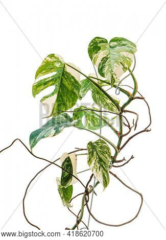 variegated monstera on the white
