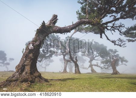 Magic Mystic Foggy View Of Curved Trees Forest Landscape In Posto Florestal Fanal Forest With Lauris