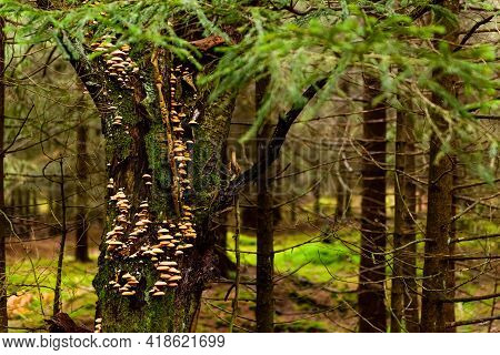 A Mossy Trunk Of A Tree Full Of Mushrooms On The Bark In A Deep Forest In A Table Mountain. Natural