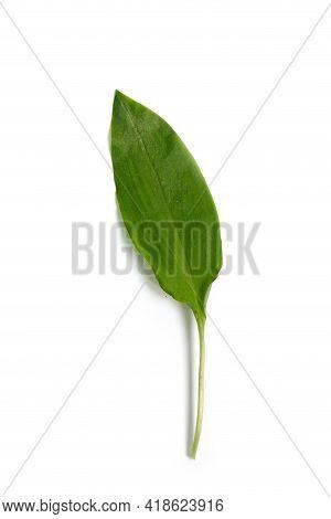 Fresh Leaf Of Wild Garlic On A White Background. Fresh Leaf Of Wild Leek. Useful Properties Of Wild