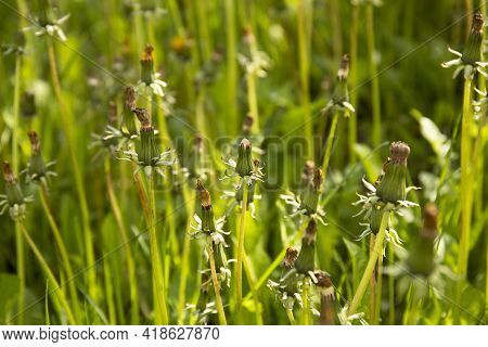 Image Of The Dandelion Plant In A Meadow