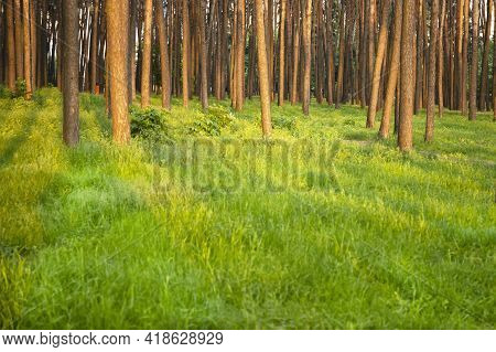 Soft Focus Image Of Pine Tree Forest And Blured Sunny Grass Glade For Copy Space