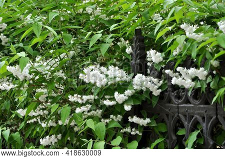 A Beautiful Blooming White Jasmine Encircled A Wrought-iron Fence
