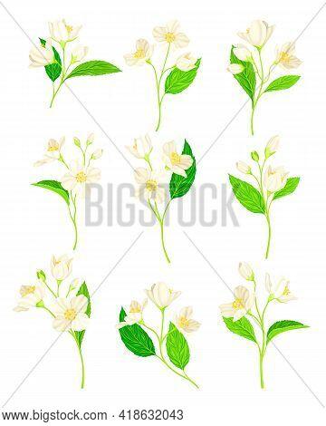 Jasmine Flower With Fragrant White Flowers And Pinnate Leaves Vector Set