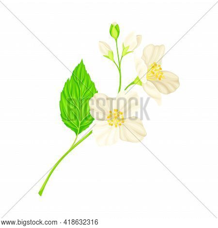 Jasmine Plant Specie With Fragrant White Flowers And Pinnate Leaves Closeup Vector Illustration