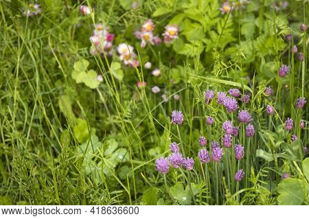 Closeup Nature View Of Green Grass And Purple Flowers Of Of Decorative Chives Bow