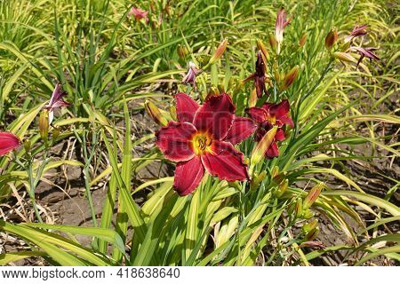 Showy Red And Yellow Flower Of Daylily In June