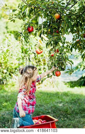 Child Picking Apples On Farm In Autumn. Little Girl Playing In Tree Orchard. Healthy Nutrition. Cute