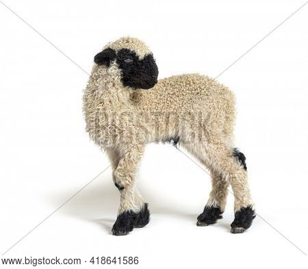 Profile of a lovely Lamb Valais Blacknose sheep three weeks old looking away