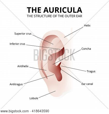 The Structure Of The Human Ear, Auricle