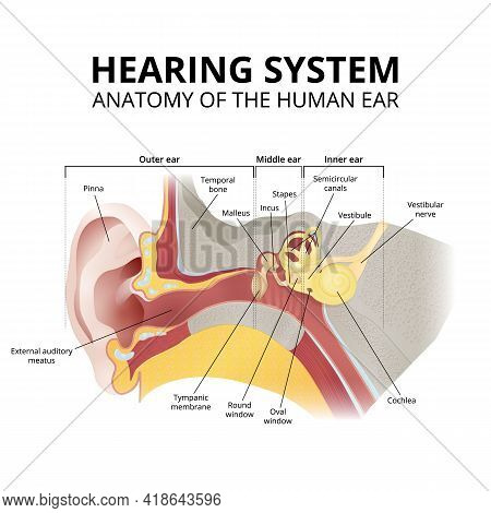 Human Ear Anatomy, Hearing System On White Background