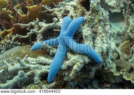 Blue Starfish (linckia) On A Coral Reef With Different Shapes Of Hard Corals. Philippines.