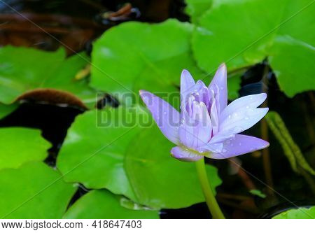 Beautiful Blue Blooming Lotus In Raindrops In The Pond