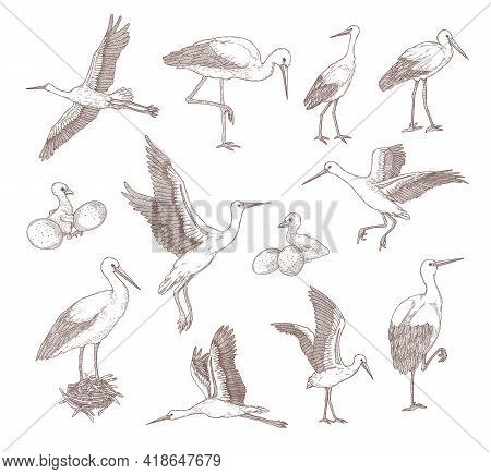Set Of Different Storks .flat Vector Illustration. Hand Drawn Sketches Of Baby Birds, Eggs, Nests An