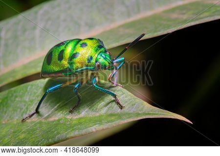 Green Jewel Bug Also Known As Metallic Shield Bug On The Leaf With Selective Focus. They Are Also Kn