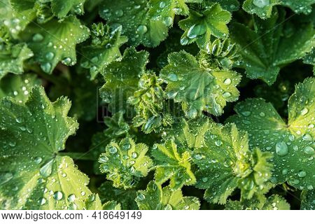 Abstract Close-up Top View Of Alchemilla Vulgaris Plant Or Ladys Mantle Flower With Morning Dew Drop
