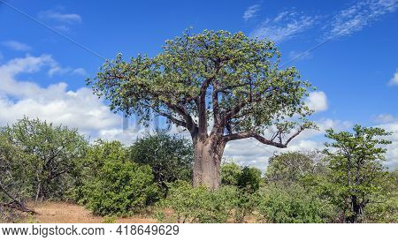Typical Baobab Against The Blue Sky In The African Bush. Crown With Leaves And Trunk Of A Baobab Gro