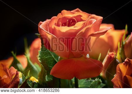 Photo Of A Cinnabar Color Blooming Rose, Macro, Close-up, Background, Macro