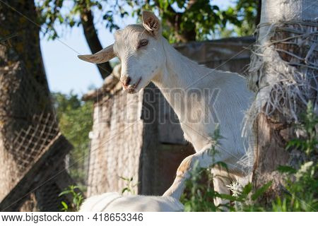 Playful White Young Goat In Farmstead Climbs Up