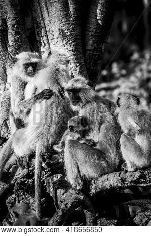 Gray Or Hanuman Langurs Or Indian Langur Or Monkey Family In Black And White During Outdoor Jungle S
