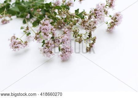 Oregano On A White Background.scientific Name Is Origanum Vulgare.edible Flower. Fresh Kitchen Herbs