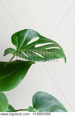 Monstera Or Swiss Cheese Plant On A Gray Background. Monstera In A Modern Interior. Interior Design.