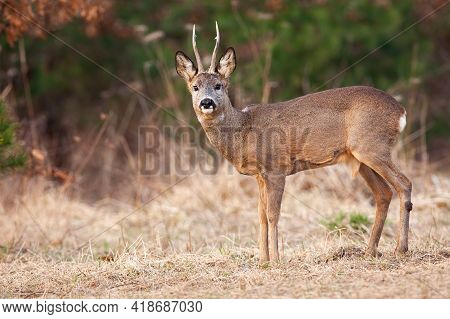 Roe Deer Standing On Dry Glade In Springtime Nature