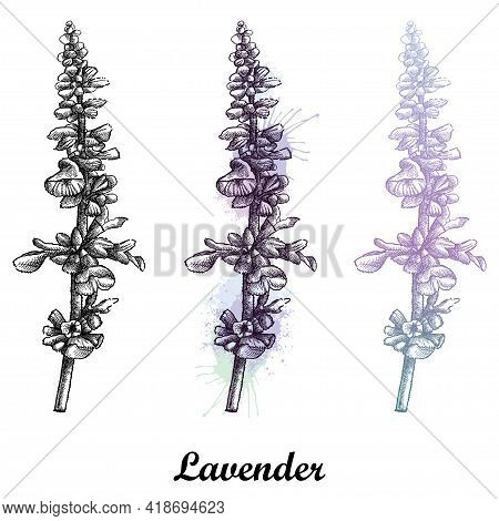 Vector Set Of Hand Drawn Sketch Of Lavender Flower Bunch In Pastel And Black Isolated On White Backg