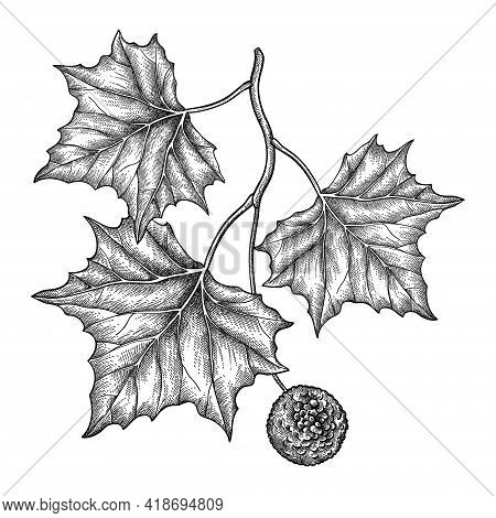 Vector Hand Drawn Sketch Of American Sycamore Or Western Plane Branch With Fruit And Leaf In Black I