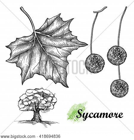 Vector Hand Drawn Sketch Of American Sycamore Or Western Plane Leaf, Fruit And Tree In Black Isolate