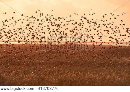 Common Starling Sturnus Vulgaris. Large Flock Of Birds In The Sky Form An Abstract Pattern.