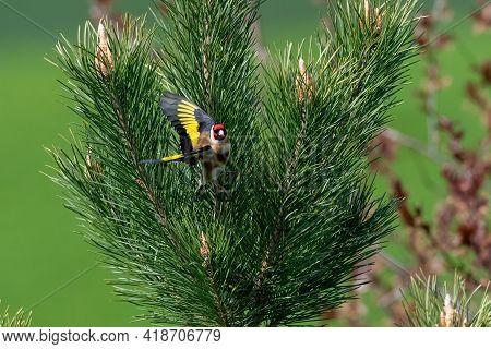 Goldfinch (carduelis Carduelis) Taking Off From Fir Branch With Nice Green Blurry Background
