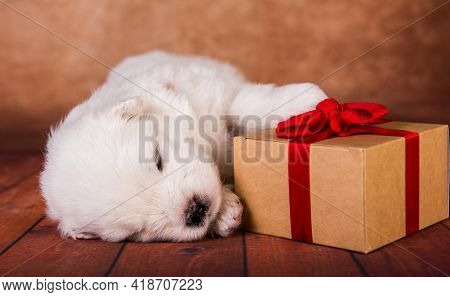 White Fluffy Small Samoyed Puppy Dog With A Gift