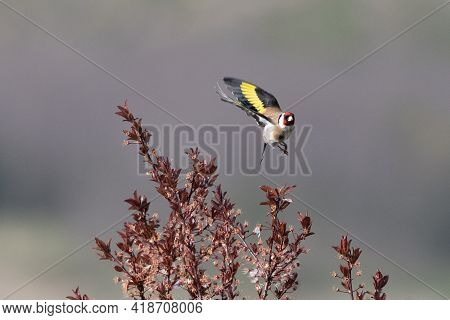 Goldfinch (carduelis Carduelis) Taking Off From Tree Branch With Nice Blurry Background