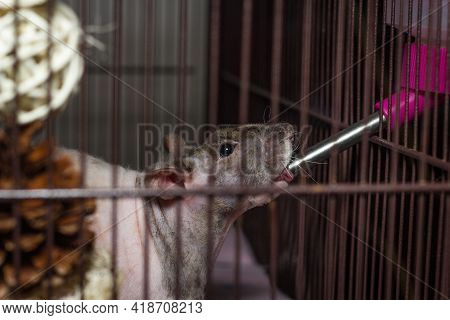Friendly Double-rex Patchwork Hairless Pet Rat Drinking From Water Bottle Inside Cage