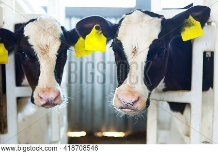 Two Calves In A Calf Barn Peek Out Of An Open-air Cage At A Dairy Farm. Milk Production, Agriculture