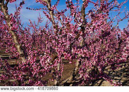 Peach Blossom In Cieza, Orchards Between Mirador El Horno And La Macetua. Photography Of A Blossomin
