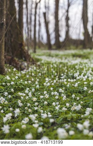 Anemone Nemorosa Flowers Meadow In Forest. Spring Nature Blurred Background
