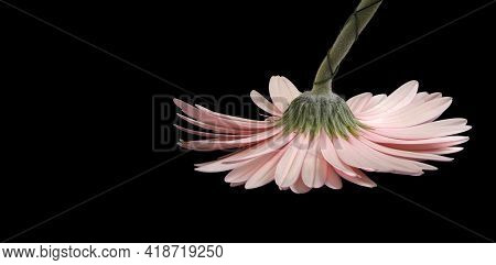 Pink Natural Gerbera Isolated On A Black Background