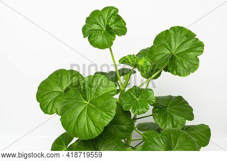Green Foliage Of Home Plant Pelargonium Or Geranium Close Up.