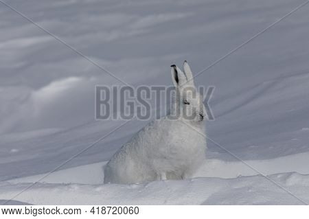 Side Profile Of Arctic Hare Arctic Hare, Lepus Arcticus, Found In The Snow Covered Tundra, Near Arvi